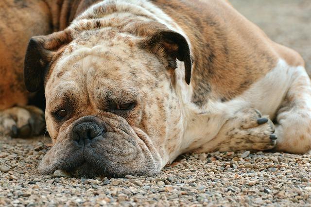 obézní pes