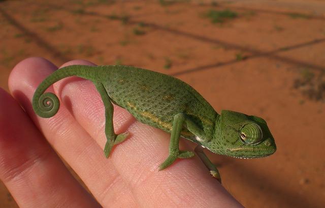 chameleon na ruce
